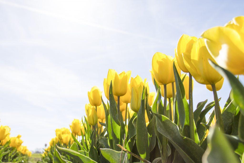 Lentegeel waar je vrolijk van wordt - tulpen